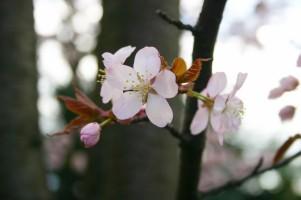 sakura_spring_japan_218668[1]